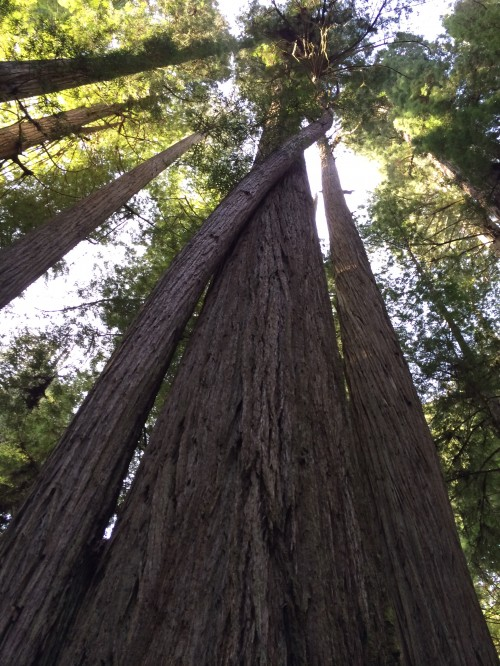 How beautiful and amazing are redwoods?