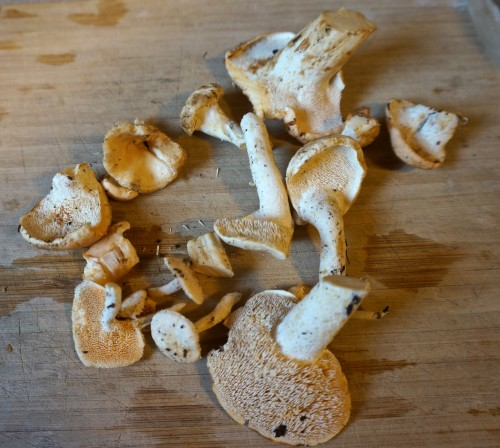 Hedgehog mushrooms have teeth!