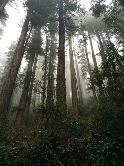 Majestic giant redwoods in Redwood National Park