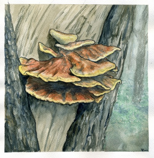 Gorgeous Laetiporus water color by Roo Vandegrift; source: https://www.flickr.com/photos/werdnus_roo/11058420284/